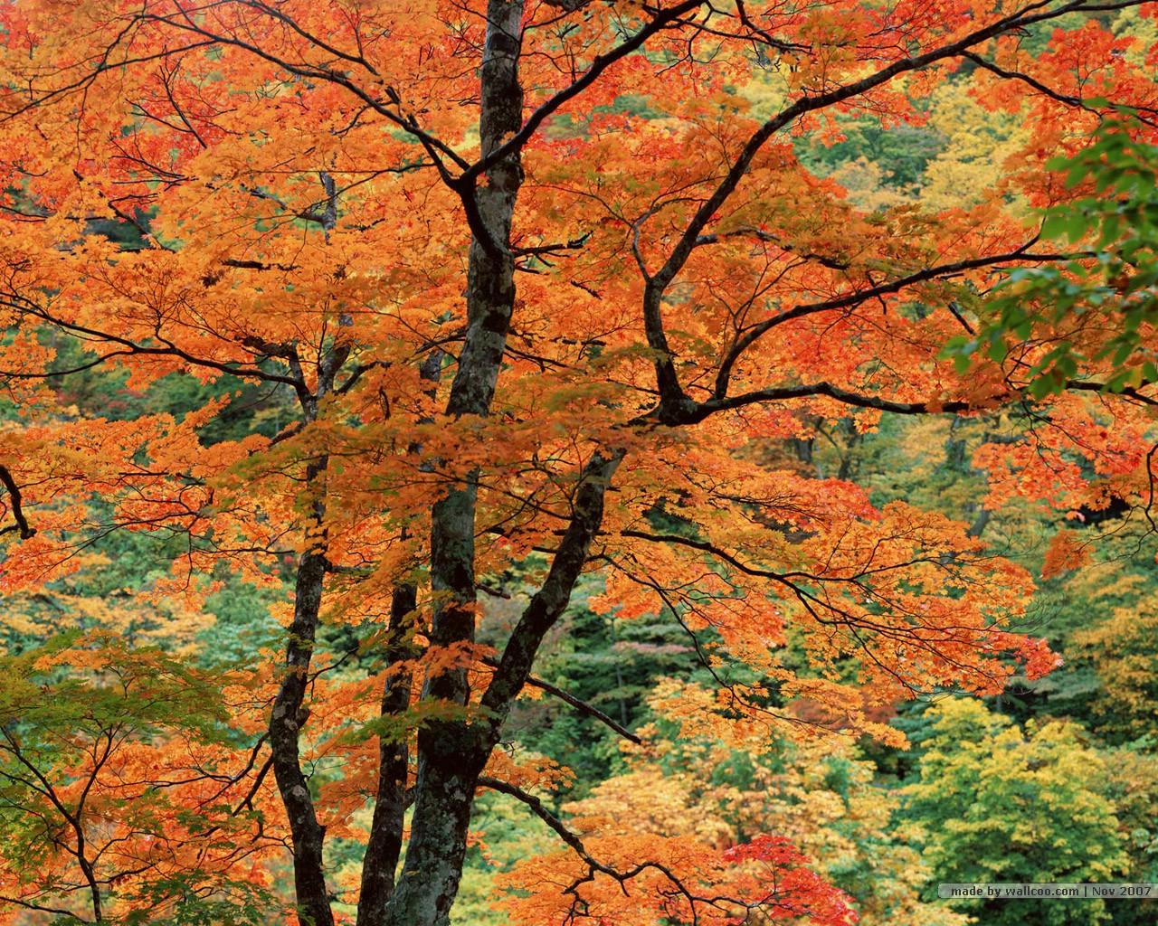 深秋风景 枫叶红了